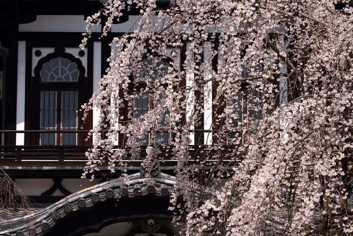 奈良国立博物館 枝垂桜4