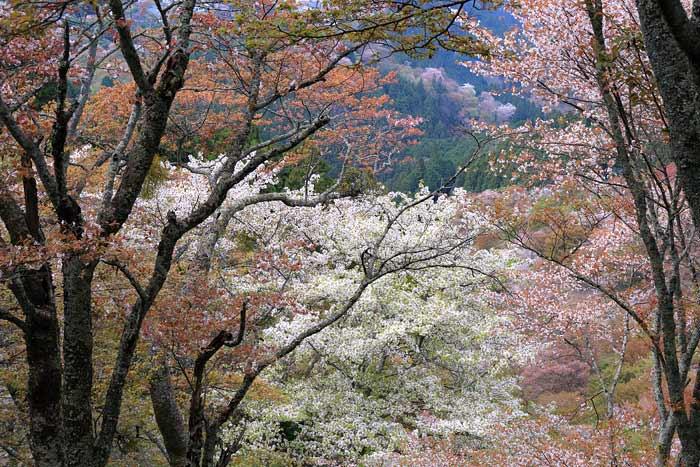 吉野山 桜1