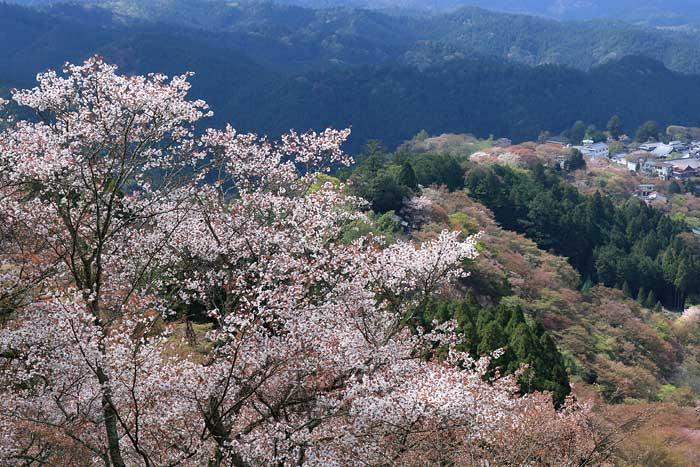 吉野山 桜2