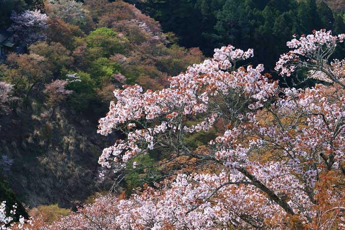 吉野山 桜3
