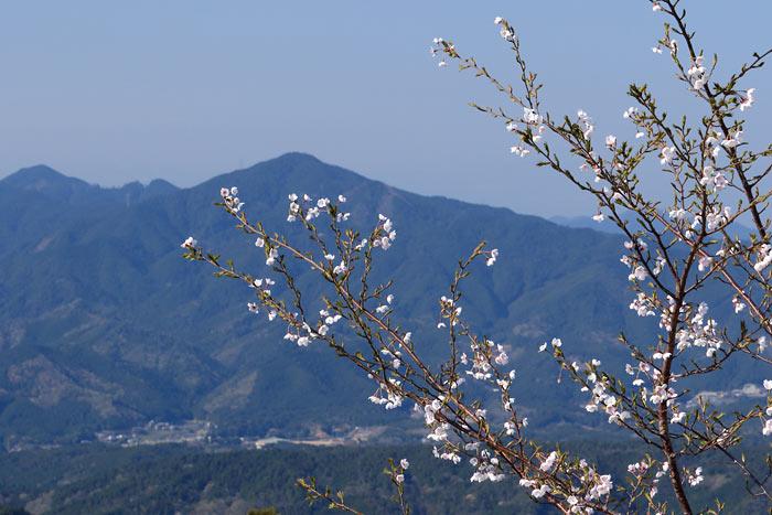 吉野山 桜5