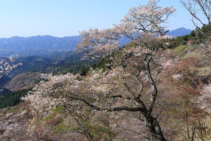 吉野山 桜4