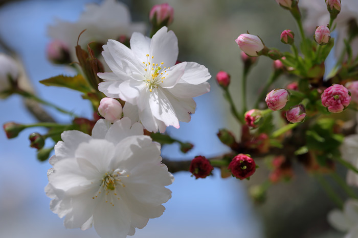 奈良八重桜2