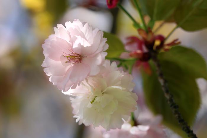 奈良八重桜4