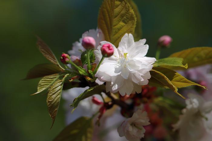 奈良八重桜3