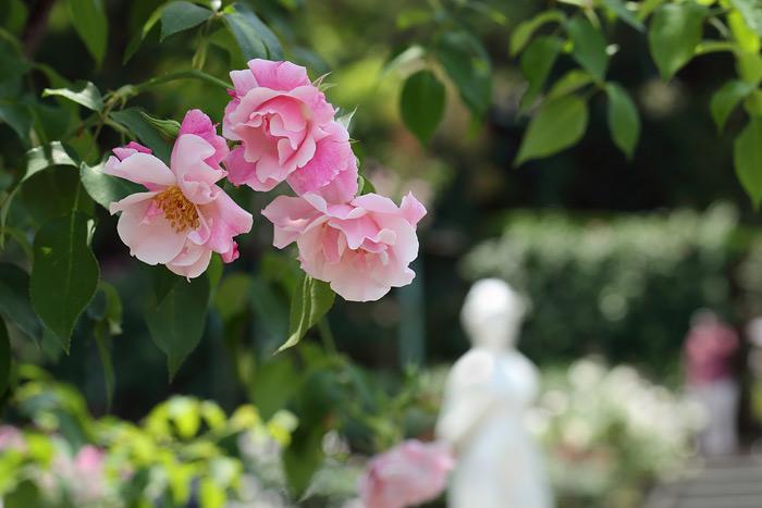霊山寺 バラ(薔薇)1