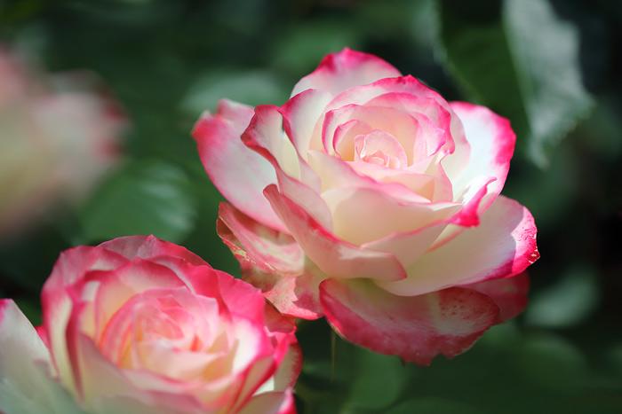 霊山寺 バラ(薔薇)2