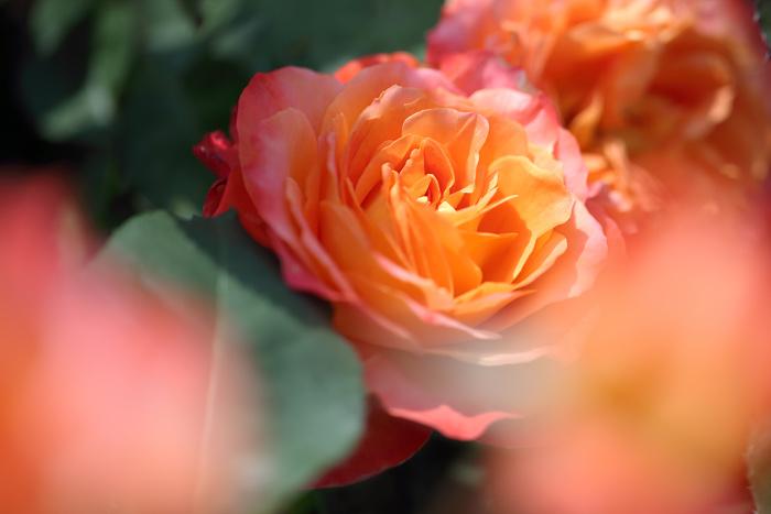 霊山寺 バラ(薔薇)5