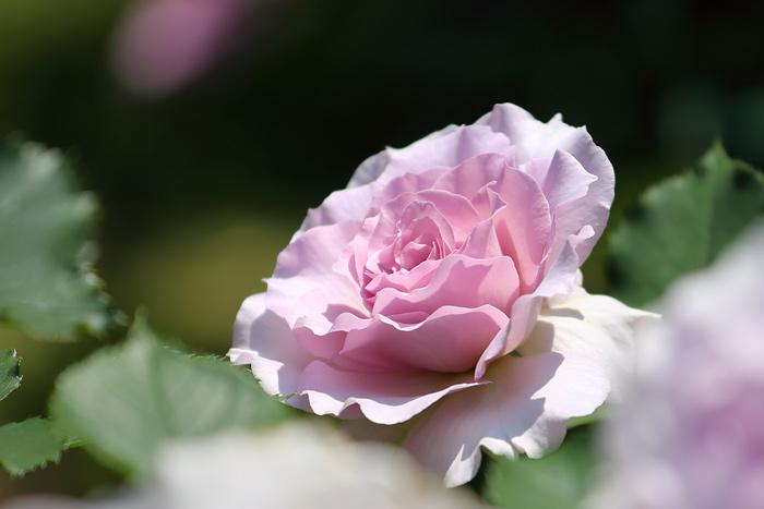 霊山寺 バラ(薔薇)3
