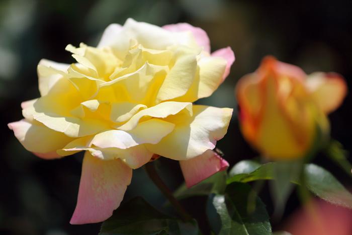 霊山寺 バラ(薔薇)4