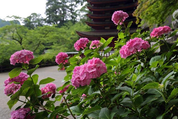 談山神社 紫陽花1