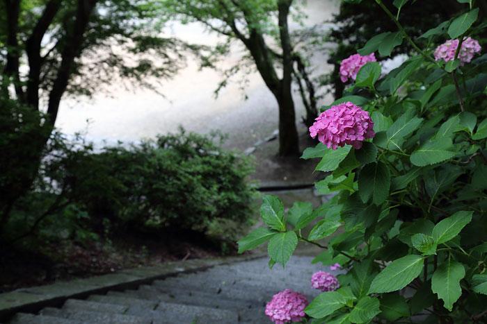 談山神社 紫陽花3