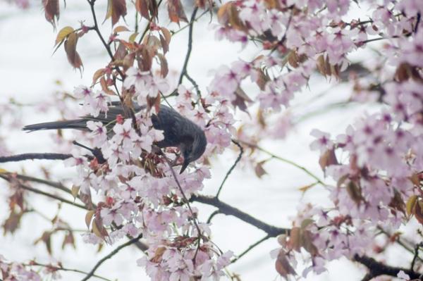 庭の桜と鳥