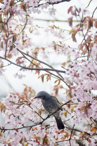 庭の桜と鳥@