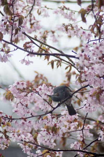 庭の桜と鳥@@