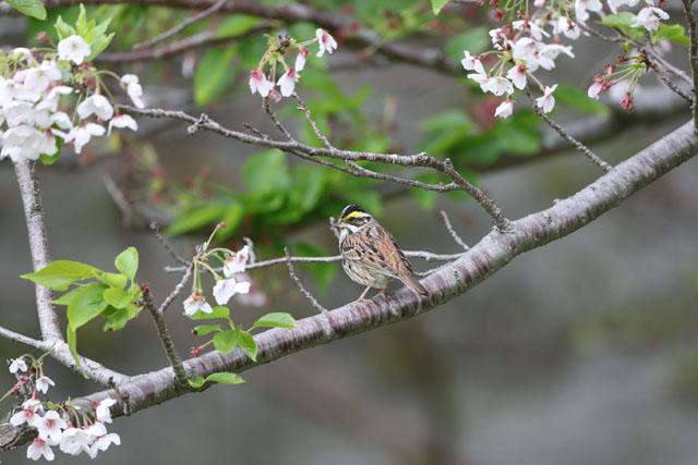 キマユホと桜
