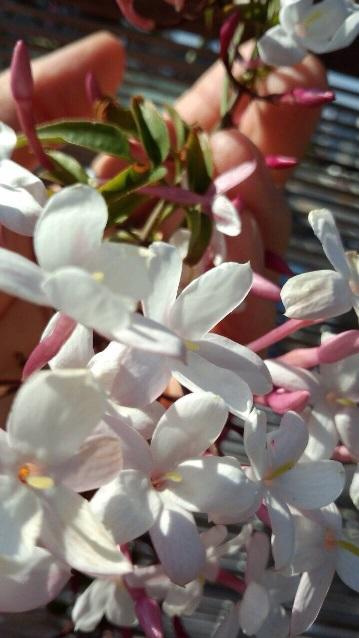【ジャスミンの花】1