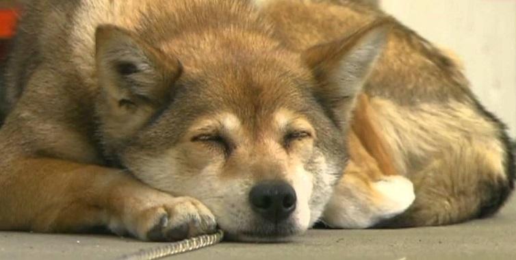 高知県立農業高校の補助教師、柴犬のりんちゃん1