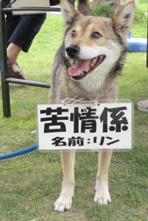 高知県立農業高校の補助教師、柴犬のりんちゃん2ふれあい市でも大活躍