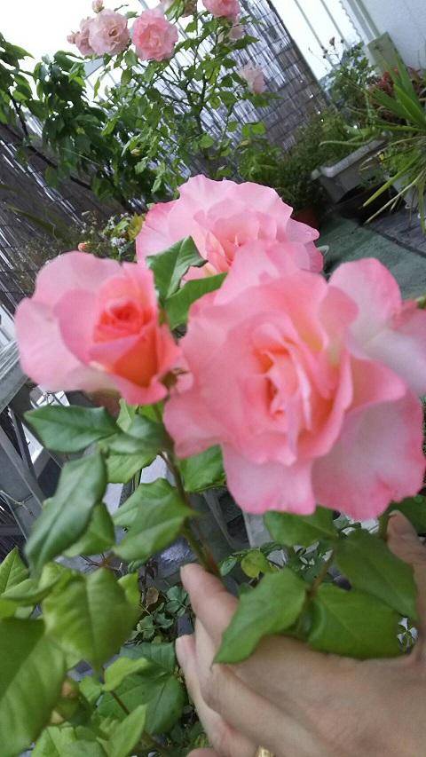 ミーママ家の屋上のバラ3