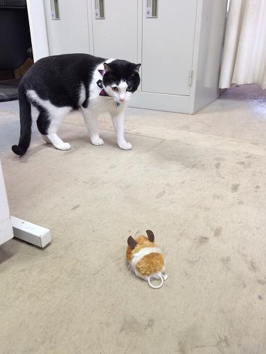 事務所の先輩猫も遊んでいます