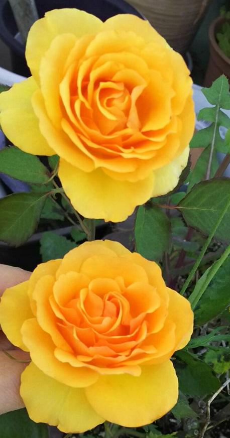 ミーママ家の屋上のバラ4