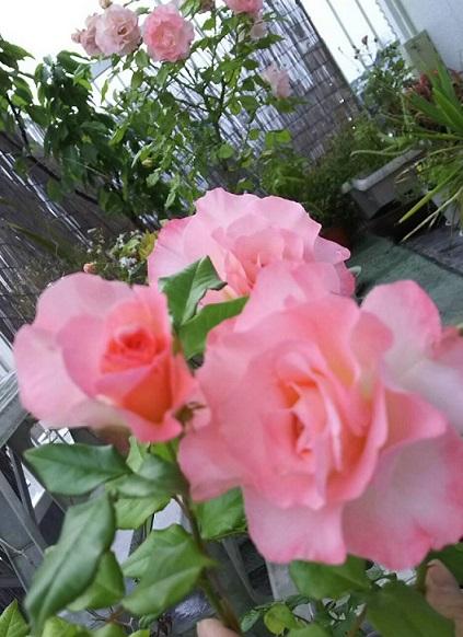 ミーママ家の屋上のバラ6