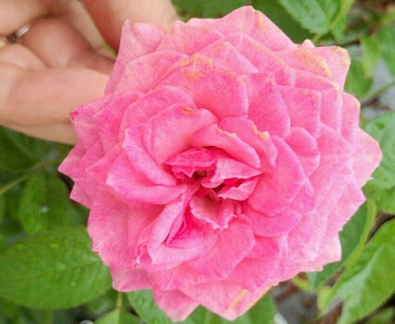 ミーママ家のバラ