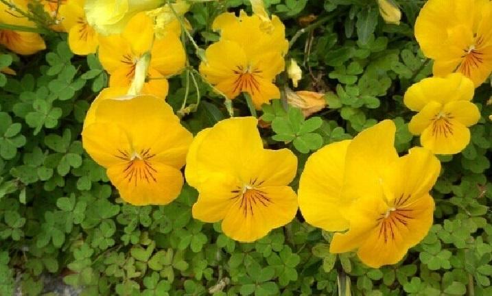 ミーママ家の黄色い花