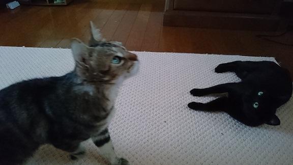 保護猫くろべぇと先住猫ろんくん