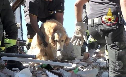 イタリアのサン・ロレンツォ・フラビアーノで、地震発生から9日後にがれきの中から救出されたゴールデンレトリバーの「ロメオ」