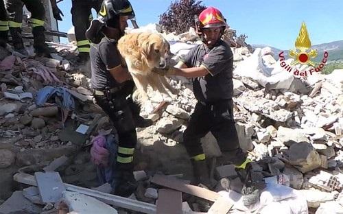 イタリアのサン・ロレンツォ・フラビアーノで、地震発生から9日後にがれきの中から救出されたゴールデンレトリバーの「ロメオ」1