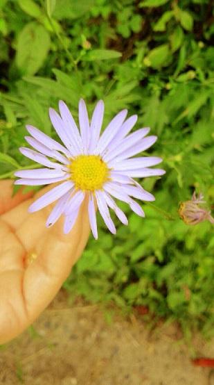 【ミーママが田舎の山でお散歩中に見つけた野菊】