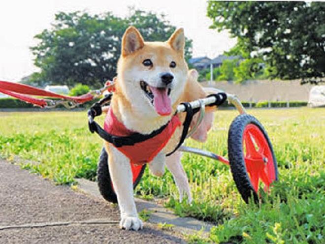 車イスで散歩する柴犬のすみれちゃん