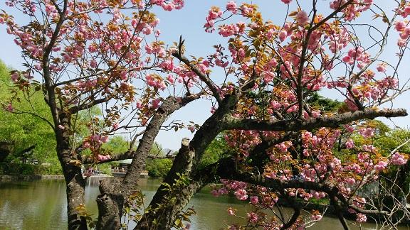 八幡宮の八重桜