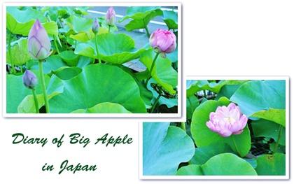 成福寺、蓮の花