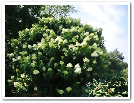 NYの庭のブドウの木