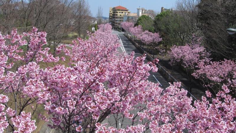 0820160329長池公園陽光桜 (800x450)