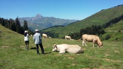 ピレネー牛
