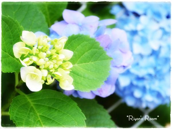紫陽花とベー①