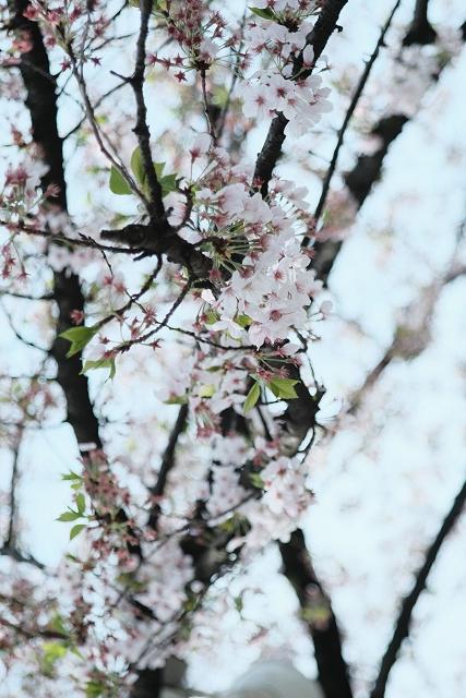 YASHICAMLZOOMと寒川神社の桜