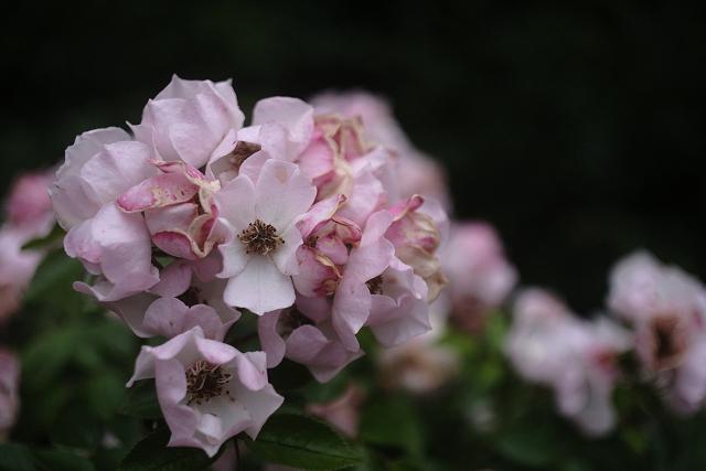 NFD5035macroと鎌倉文学館のバラ