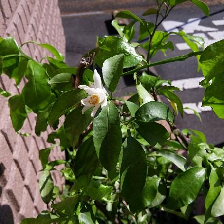 謎の柑橘花1