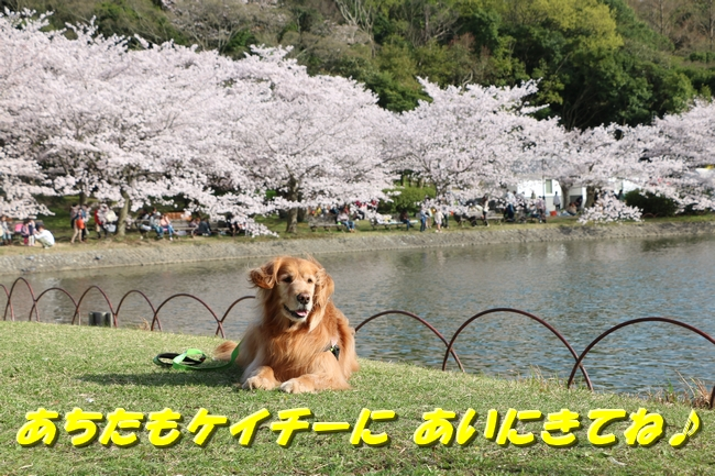 明石城公園桜2016 224