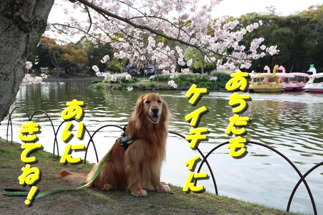 明石城公園桜2016 340