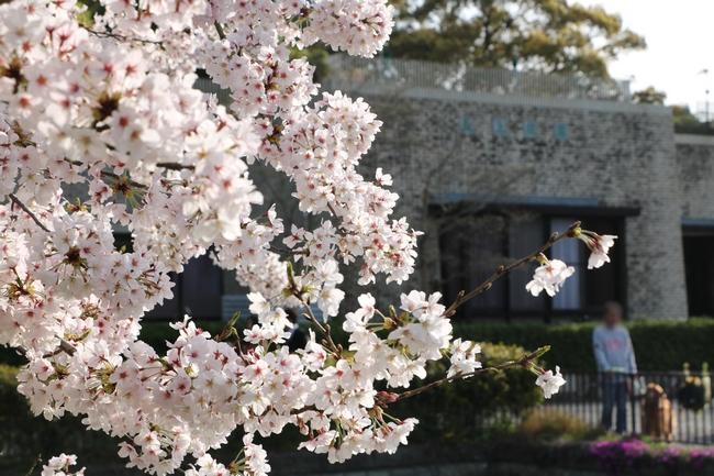 明石城公園桜2016 352