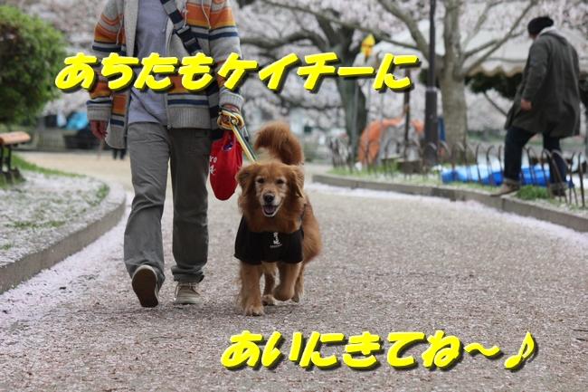 明石公園 桜 141