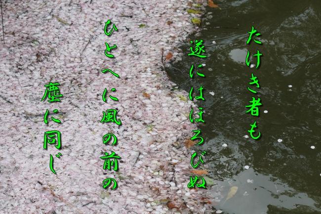 明石公園 桜 028