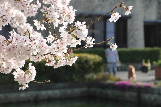 明石城公園桜2016 343