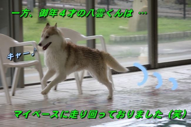 ティアナちゃんハスキー犬やくもちゃんつぶちゃん 044